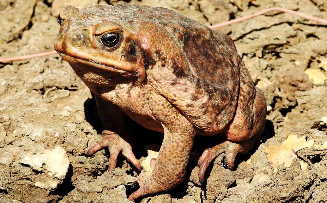 Nothing Can Eat Australia's Cane Toads—So They Eat Each Other
